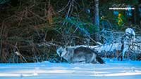 Wild Wolf in Banff National Park  by Robert Berdan