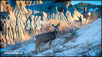 Mule Deer in Badlands by Robert Berdan