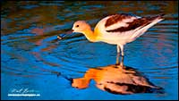 American Avocet with fish by Robert Berdan
