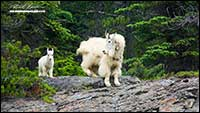 Mountain Goats British Columbia by Robert Berdan