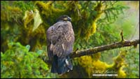 Immature bald eagle Great Bear rainforest by Robert Berdan