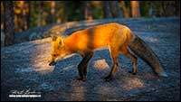 Red Fox Prelude Territorial Park, NT by Robert Berdan