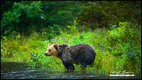 Grizzy bear in Great Bear rainforest British Columbia by Robert Berdan