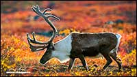 Barren lands caribou Northwest Territories by Robert Berdan