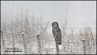 Great Gray owl in winter by Robert Berdan
