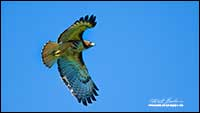 Red-tailed Hawk in flight by Robert Berdan
