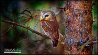 Saw Whet Owl by Robert Berdan