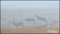 White-tailed deer in fog by Robert Berdan