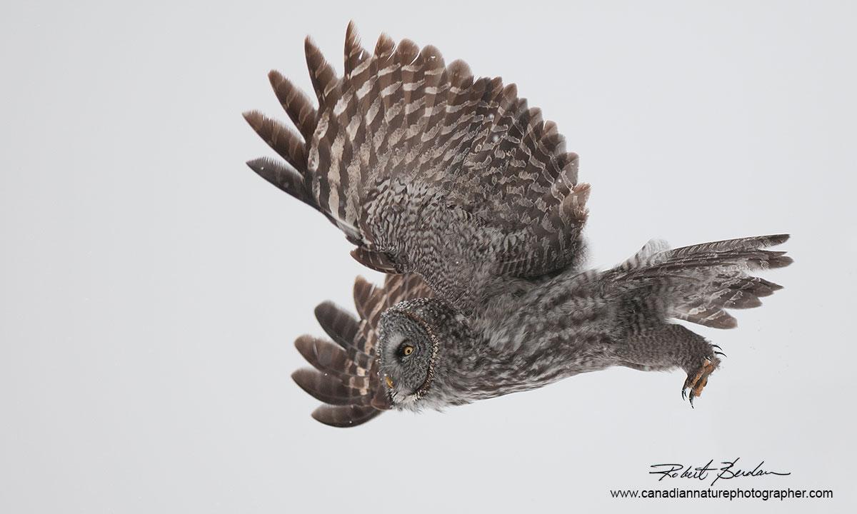 Photographing Owls in Winter Around Calgary by Robert Berdan