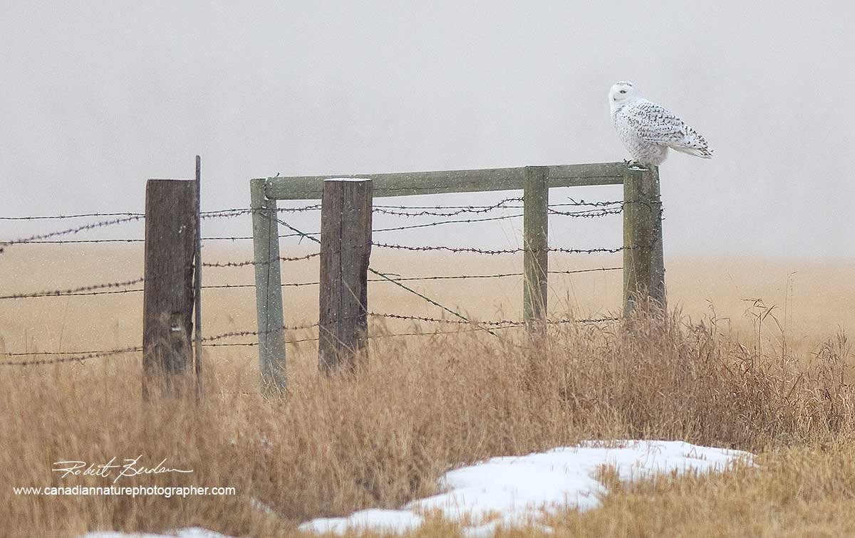 Snowy Owl on fence from the Bieseker area (300 mm F2.8 lens)  by Robert Berdan ©